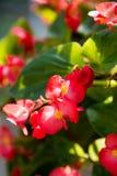 Begonia semperflorens Royalty Free Stock Photos