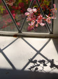 Begonia shadows. Pink begonia flowers on a window sill throw a shadow stock images