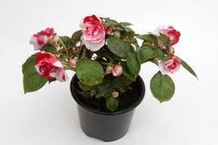 Begonia Solenia rouge et blanche fleurit dans le pot d'isolement sur le fond blanc Modèle floral, fond de fleurs Images stock