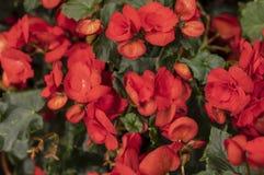 Begonia Solenia rouge image libre de droits