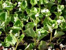 Begonia'sspruiten Stock Fotografie