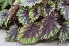 Begonia - tavolozza dipinta fotografia stock libera da diritti