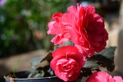 Begonia tuberosa - Begonia Χ tuberhybrida Στοκ εικόνες με δικαίωμα ελεύθερης χρήσης