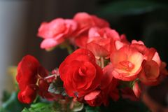 Begonia. Tuberosa flower large color Yan, both Camellia, peony, rose, carnation and other famous flowers of different colors, color, smell, is the crown of , is Stock Images