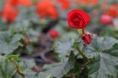 begonia Unikalny begonia kwiatów pole Begonia w garnkach motyla opadowy kwiecisty kwiatów serca wzoru kolor żółty banner tła kwia Zdjęcie Royalty Free