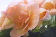 Begonia voor achtergrond stock afbeeldingen