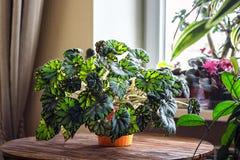 Begonia w pomarańczowym flowerpot na drewnianym tle Genus odwiecznie kwiatonośne rośliny w rodzinnym Begoniaceae fotografia royalty free