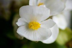 Begonia white macro flower background high quality. Prints stock image