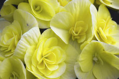 Begonia yellow flowers Royalty Free Stock Image