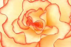 begoniabegåvning Arkivfoto