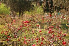 begoniabloem stock afbeeldingen