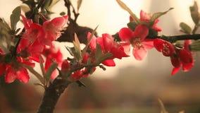begoniabloem royalty-vrije stock afbeeldingen