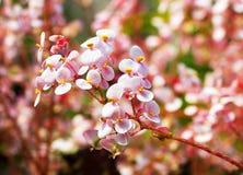 Begoniabloem Royalty-vrije Stock Afbeelding