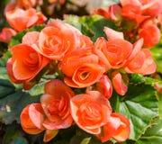 Begoniabloem Royalty-vrije Stock Fotografie