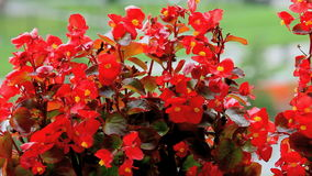 Begoniabloemen stock footage