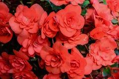 Begoniabloemen in de tuin Royalty-vrije Stock Afbeelding