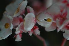 begoniablomma Royaltyfria Bilder