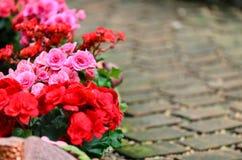 Begoniablomma i trädgård Royaltyfri Foto