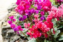 Begoniablomma i trädgård Arkivbild