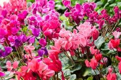 Begoniablomma i trädgård Arkivfoto
