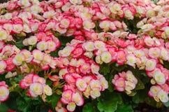 Begoniablomma i trädgård Arkivfoton