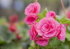 Begoniaceae rosado de la familia de la flor de la begonia Imagenes de archivo