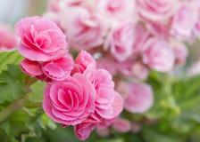 Begoniaceae rosado de la familia de la flor de la begonia Fotografía de archivo libre de regalías
