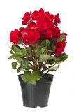 begoniaen blommar red Arkivfoto