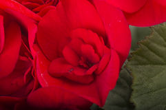 begoniaen blommar red Royaltyfri Fotografi