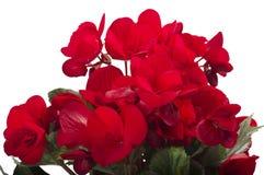 begoniaen blommar red Royaltyfria Foton