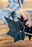Begonian är ett släkte av perenna blomningväxter i familjbegoniaceaen Begonian blommar med mörka sammetblad på träbackg Arkivfoton