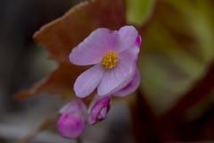 Begonian har en rosa inflorescence i den härliga naturen royaltyfri fotografi