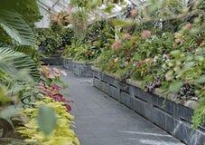 Begonian planterar fullvuxet på Begonia House i gummistöveln, Nya Zeeland Royaltyfri Fotografi