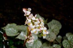 Begonian uppstår de naturligt i fuktiga klimat i tropiska och under-tropiska Asien, Fotografering för Bildbyråer