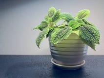 Begoniaobsolescens Irmsch Royaltyfri Fotografi
