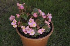 Begoniarosa färgblomma Arkivbilder