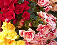 begonias ζωηρόχρωμα λουλούδια Στοκ Εικόνες