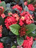 Begonias σολομών Στοκ εικόνες με δικαίωμα ελεύθερης χρήσης
