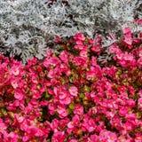 Begonias de cera Foto de archivo libre de regalías