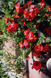 Begonias flowering plants Royalty Free Stock Photo