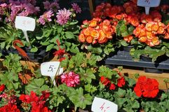 Begonias and geraniums are sold outside on a sunny spring day. Begonias and geraniums    are sold outside on a sunny spring day royalty free stock photo