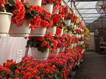 Begonias in Greenhouse Pots Stock Images