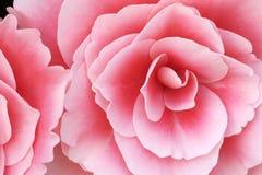 Begonias rosadas Fotos de archivo libres de regalías