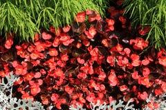 Begonie (Begoniaceae) Immagini Stock