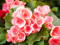 Begonie blüht im Garten, schöner Hintergrund Stockbild