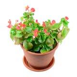 Begonie-Blume im Potenziometer Lizenzfreies Stockbild