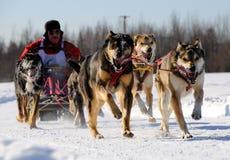 begränsande norr racesled för amerikansk hund Royaltyfria Bilder