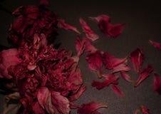 Begrafenis Bloemen Twee vernietigde pioen Donkere bloemensamenstelling royalty-vrije stock afbeelding