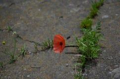 Begrepp av ansträngning för nytt liv Closeup av den starka röda vallmo som växer från betongen arkivfoto