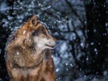 Begrepp av att drömma som är den fria och lösa anden av skogen Royaltyfri Foto